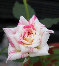 25 Rosensamen Playful Tiger Rosen  Nr 68