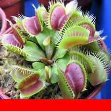 Potted Insectivorous Plant Seeds Dionaea Muscipula Giant Clip Venus Flytrap Seed