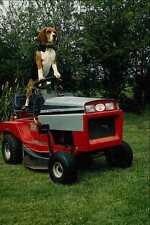 802089 Beagle On Garden Tractor A4 Photo Print