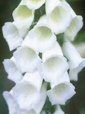 50+ PURE WHITE FOXGLOVE (DIGITALIS) FLOWER SEEDS/ PERENNIAL