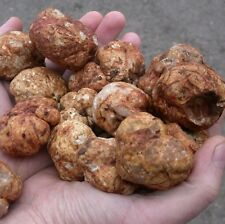 10 g OREGON WHITE TRUFFLE Mycelium Tuber gibbosum Mushroom Spawn Spores + eBook