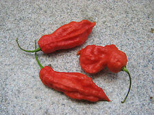Jay's Red Ghost Scorpion Chilisamen Chili - Super Hot 10 Samen