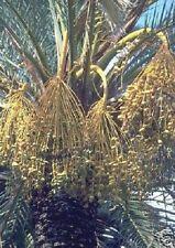 Dattel- Palmen Samen / frostharte Palmensorten Palmenarten für den Balkon Garten