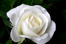 Fresh, 40x Rare White Rose Seeds Garden Plant*UK SELLER*