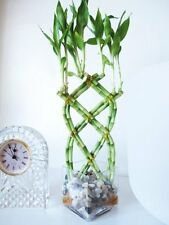 Live 8 Braided Lucky Bamboo Plant Arrangement w/ Pebble & Vase East Care Indoor