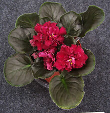 african violet LE Ognennyj Tsvetok or LE Fire Flower plant in 4 inch pot