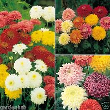 Chrysanthemum single mixed Flower - 30 Seeds
