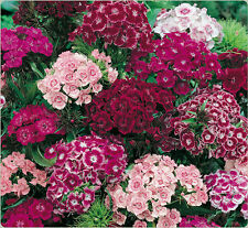 SWEET WILLIAM - DOUBLE MIX - COTTAGE PERFUME - 750 FINEST SEEDS