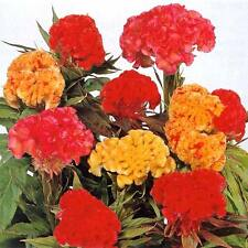 Celosia Coral Garden Seed Mix, Mixed Colour Good Bedding Plant Brain-type Flower