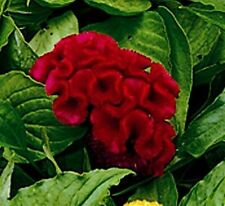 30+ Celosia Red Cockscomb Flower Seeds/ Reseeding Annual