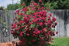 Climbing Rose Seeds - TEXAS WINE - Winter Hardy Variety - Gmo Free - 10+ Seeds