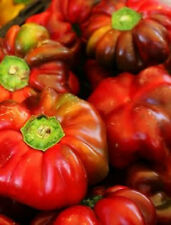 100 RED PIMENTO PEPPER Sweet Vegetable Seeds + Gift & Comb S/H