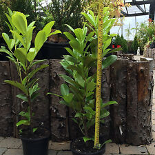 40 x Cherry Laurel Hedging Plants. Was £189.99. INCLUDES FREE DELIVERY!