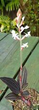 Jewel Orchid Ludisia Live potted. IN BLOOM! white flowers