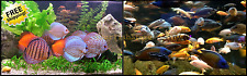"(x3) DISCUS 2"" - 3"" EACH / (x25) AFRICAN CICHLID FISH  PACKAGE YOURFISHSTORE"