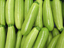 Zucchini Lebanese Green - One of the Most Delicious Zucchini Variety - 8 Seeds
