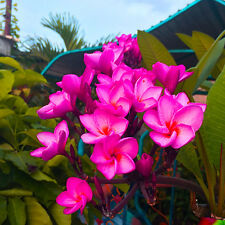 "Plumeria Seeds/Flowers Fresh 50 seeds "" PURPLEPREAM ""  NEW RARE !!!"