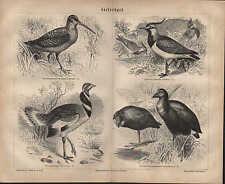 Lithografie 1878: Stelzvögel. Waldschnepfe Kiebitz Zwergtrappe Purpurhuhn
