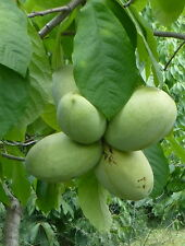 1 GRAFTED PAWPAW TREE, IN TALL TRAINER POTS, YOU CHOOSE CULTIVAR