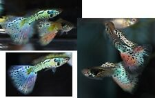 3 Gorgeous Young Adult Pairs Nebula Steel Guppies!