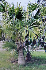 10 Seeds Livistona chinensis,chinese Fan palm#421