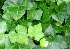 "Thorndale English Ivy 4 Plants - Hardy Groundcover - 2 1/4"" Pot"