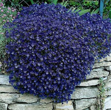 "50+ HEIRLOOM PERENNIAL FLOWERING GROUNDCOVER SEEDS ROCK CRESS - ""CASCADING BLUE"""
