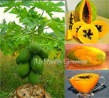 "SEEDS - Dwarf ""Kapoho Solo"" Papaya Pear-shaped Low Bearing Yellow Flesh Fruit!"