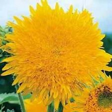 Sunflower Giant  Sun Gold 40 Seeds   Garden Seeds 2u