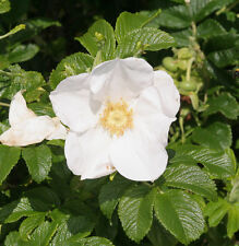Heckenrose Hundsrose 100 Samen  Hagebutte Heilpflanze Teepflanze