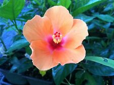 HIBISCUS rosa-sinensis 'Orange Lagos' Quart Plant FREE SHIP