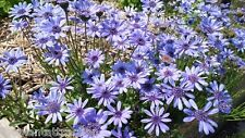 Felicia Heterophylla 25 Seeds, True Blue African Daisy Plants, Ships From USA!