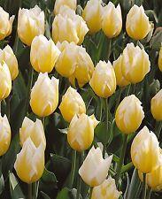 """20 x Tulip """"sweetheart"""" LAMPADINE (impianto di casa)"""