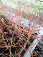 Drosera binata 'multifida' - Enormous Forked Sundew - Prolific and Easy-To-Grow!