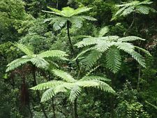 Lacy Tree Fern (Cyathea Cooperi) - 25+ Fresh Spore (seeds) - Hardy Fast Growing!