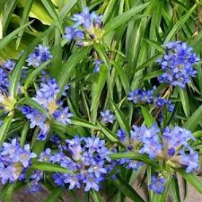 100 Seeds Gentiana Nikita Perennial Great For Rock Gardens Gentian