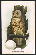 Lithographie 1902, Waldkauz, Syrnium aluco, Vogelkunde Ornithologie /113