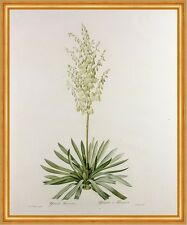 Yucca Filamentosa, from Les Liliacees Pierre-Joseph Redoute Pflanzen B A1 03106