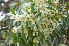 Zitrone Pflanze | Ebay Exotische Pflanzen Terrasse Haus
