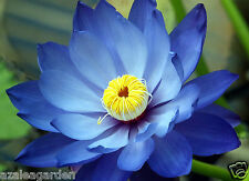 SAPPHIRE BLUE LOTUS / Waterlilly Flower  -  Kamal Nelumbo Nucifera 10 seeds