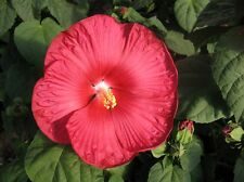 Hibiscus Seeds Luna Red HARDY HIBISCUS 15 Seeds (Perennial Seeds)