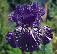 Iris Batik -Bearded Iris (1 BAREROOT) eye candy.Perennial