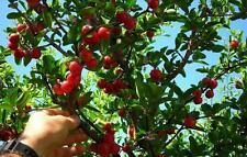 50g reines Acerola Pulver - das ***Vitamin C Wunder***