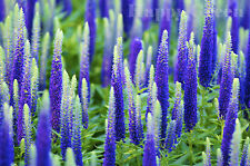 SPIKED SPEEDWELL - Veronica Spicata 1200 seeds PERENNIAL ROCKERY FLOWER