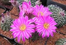 10 Echinocereus pulchellus PACHUCA semi cactus fiori SEEDS PIANTE GRASSE
