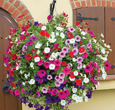 PETUNIA HYBHID MIXED FLOWER SEEDS - Pack of 100 Seeds.