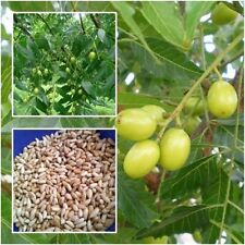 5 Seeds Of Azadirachta indica  seeds Siamese neem tree for planting From Thai