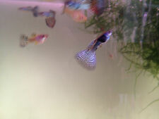 One female blue metal lace young adult guppy- not virgin