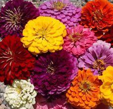 Zinnia Dahlia Flowered Mix 250 seeds * Cut Flower * Beautiful * CombSH K22