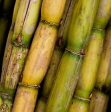 100 THAI SUGAR CANE SEED JUICY & SWEET RARE TROPICAL PLANT EZY GROW  100 SEED